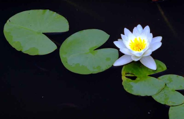 water_lily_lg1