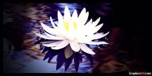 white_water_lily
