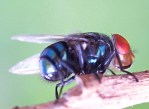lalat-3
