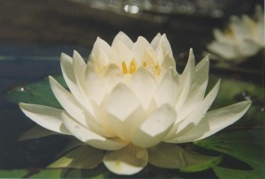 w-waterlily