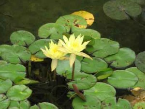 water lily yellow