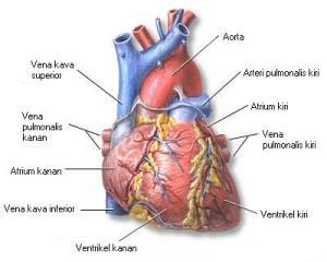 jantung_tampak_depan