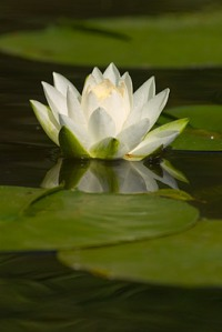 water-lily 1