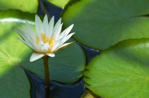 water-lilies-2