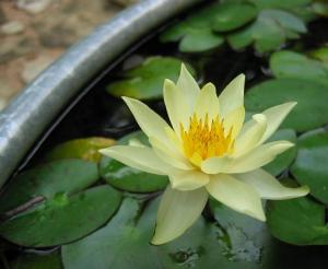 water lily Helvola