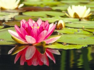 water lily main page