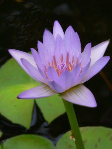 water-lily1269408-2-soft-lavender-