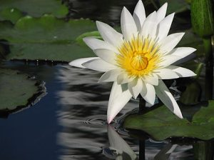 water-lily_2-mccoy-pavilion-honolulu-092008