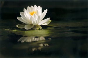 WaterLily082