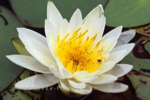 white-water-lily_390