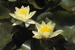water_lily_sc146