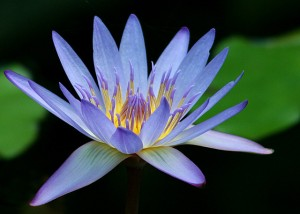 blue_water_lily