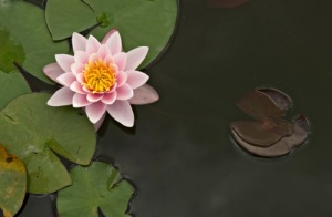 pink_water_lily_flower