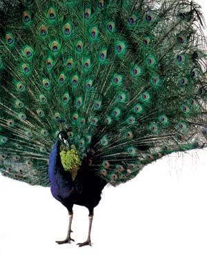 Download 80+ Foto Gambar Burung Merak Dua Dimensi  Terbaru Gratis